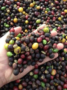 cirese cafea procesate natural
